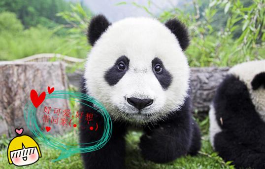 萌萌哒小熊猫